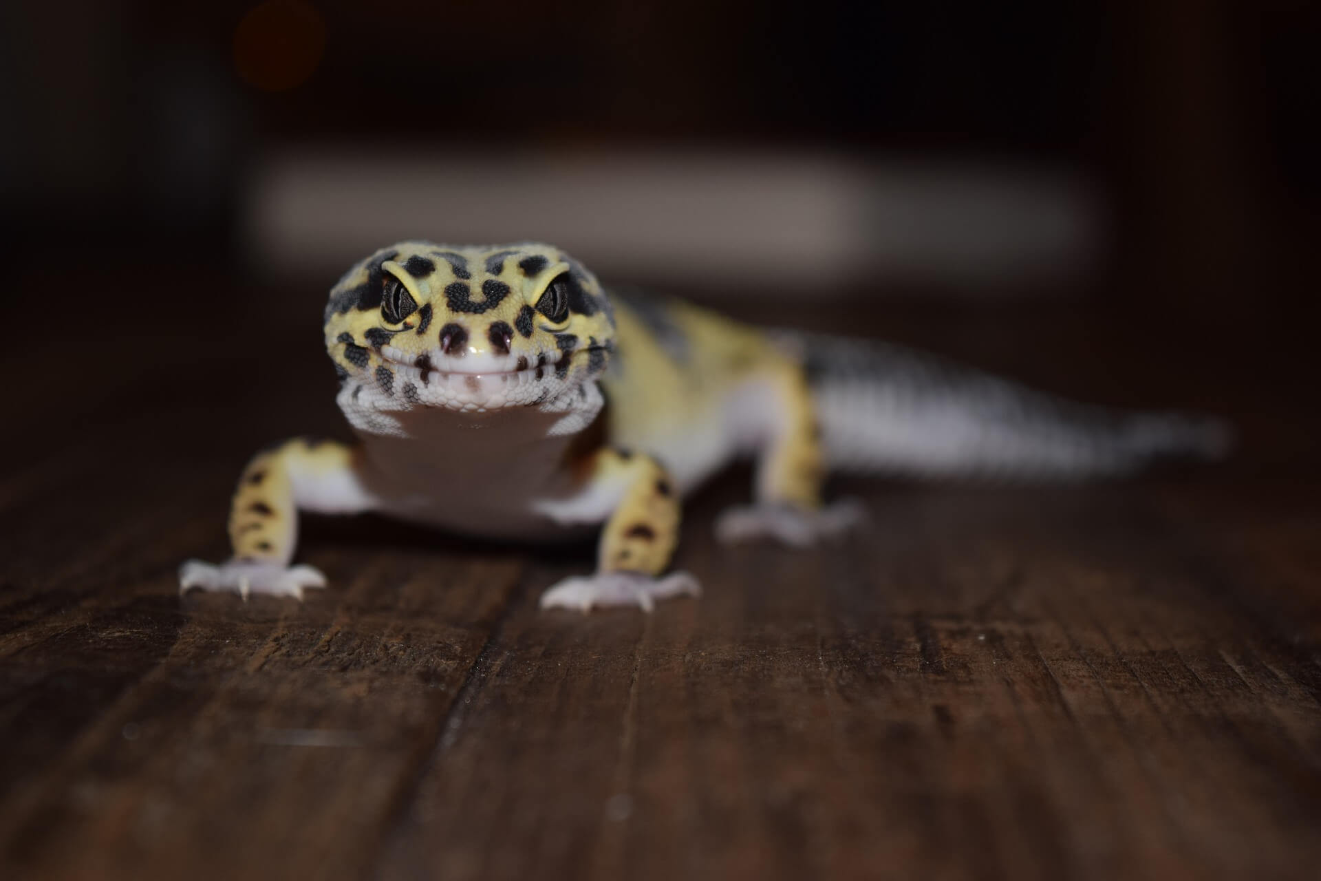 leopard gecko light