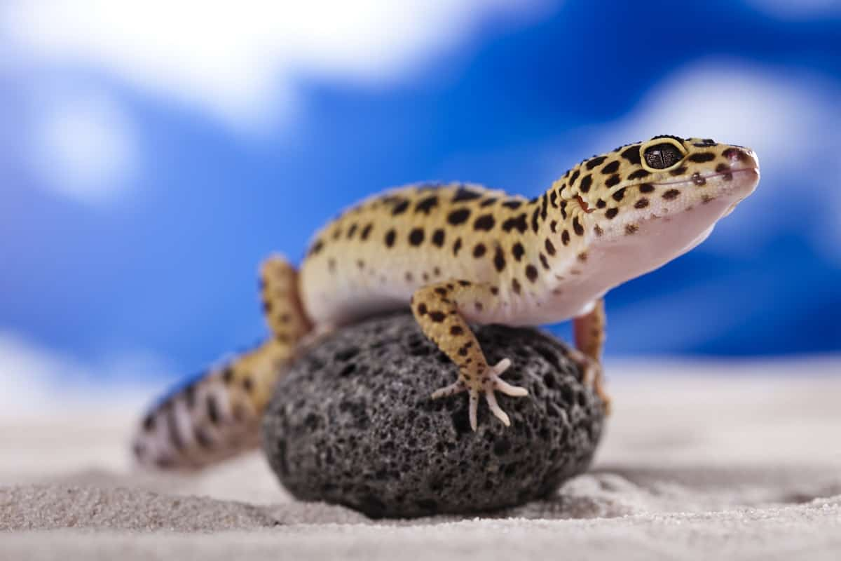 Best Substrates for Leopard Gecko - leopard-gecko.org