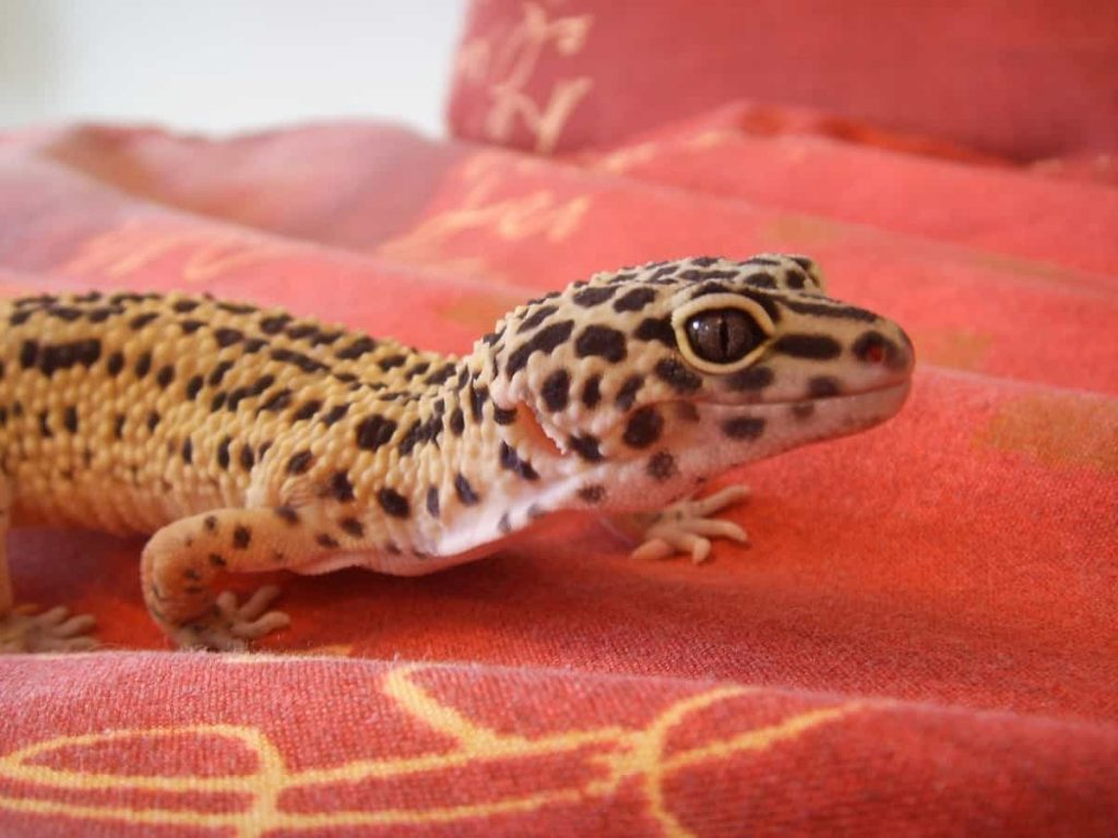 How to Tell if Your Leopard Gecko is Happy 1