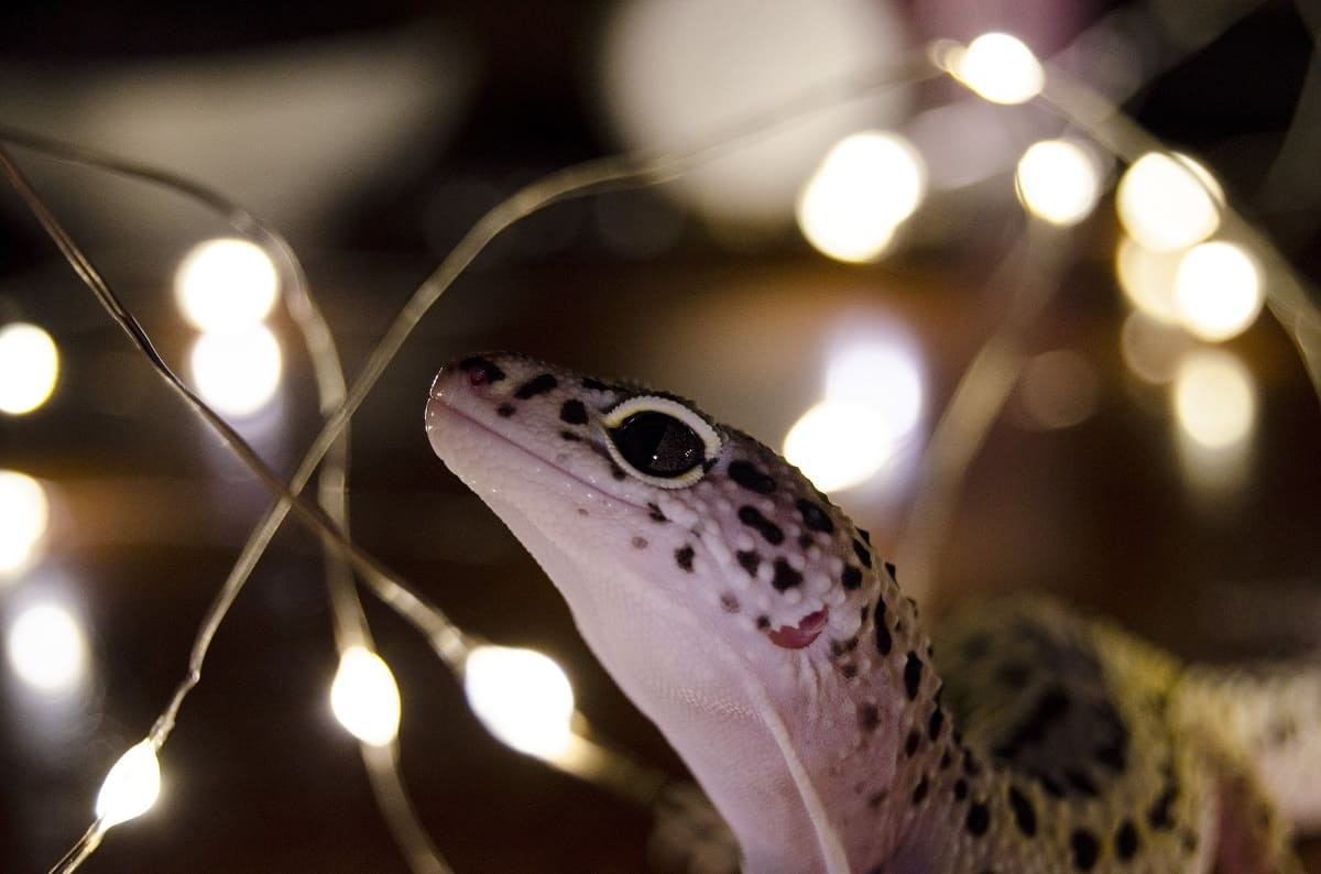 How to Tell if Your Leopard Gecko is Happy - leopard-gecko.org