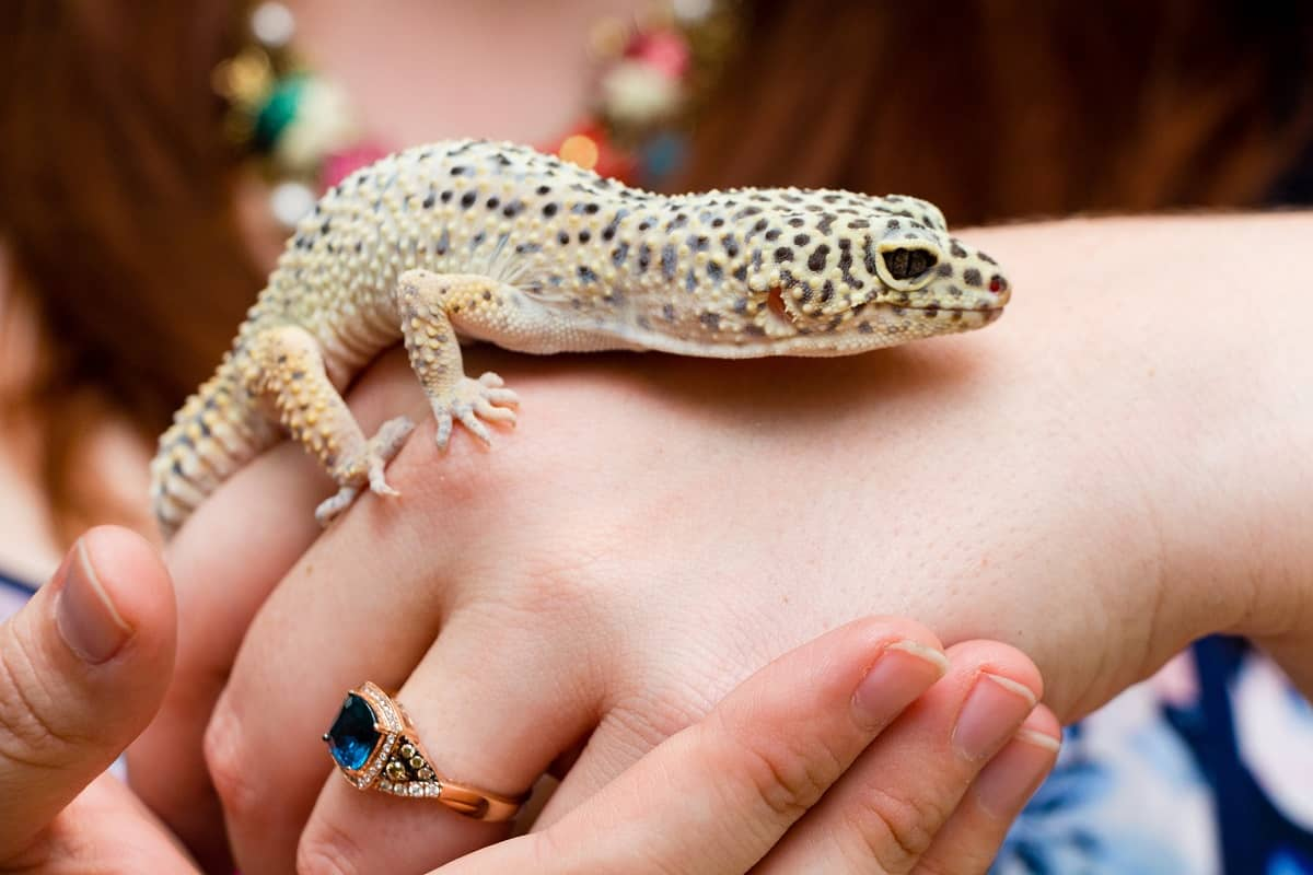 How to Tame a Leopard Gecko - leopard-gecko.org